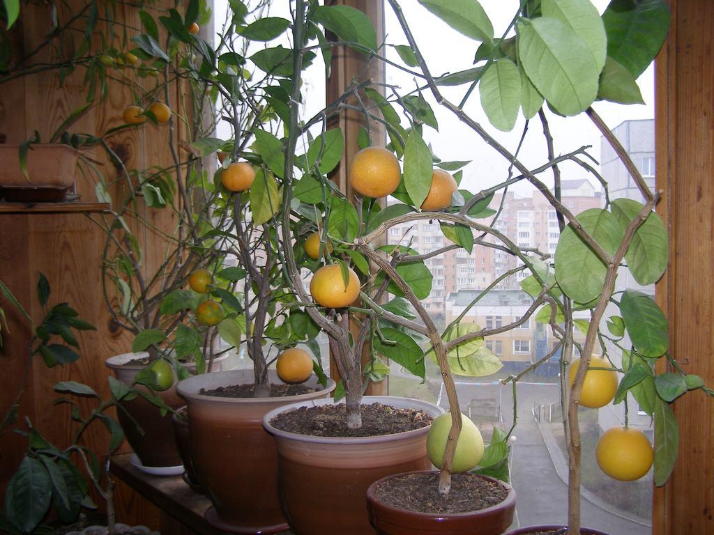 Выращивание лимонов и уход в домашних условиях 115